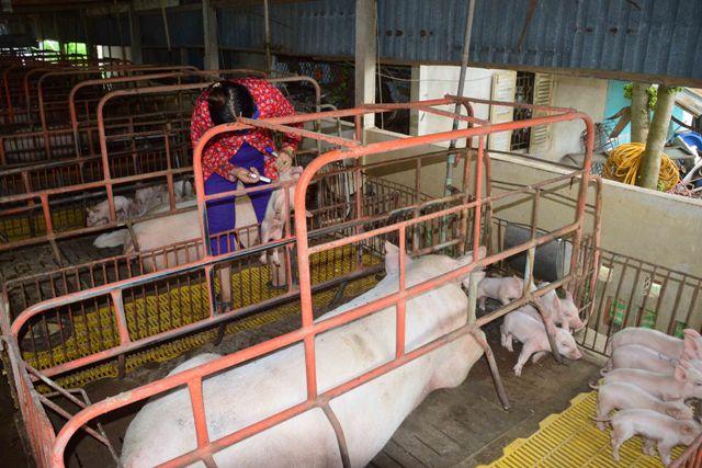 Sóc Trăng tiêu hủy hơn 547 tấn lợn bị nhiễm bệnh